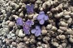 Thơm lừng hương cổ tích, Hà Thành lùng mua loại quả vàng ươm-4