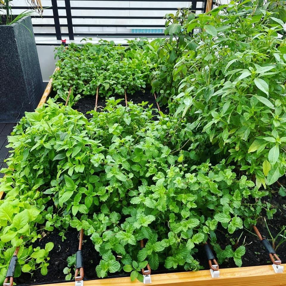 Vườn rau xanh mướt bên trong nhà phố của Lê Hoàng The Men-6