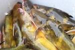 Loài cá đỏ như máu, mang ý nghĩa quyền quý và thịnh vượng được đại gia Việt săn mua-19