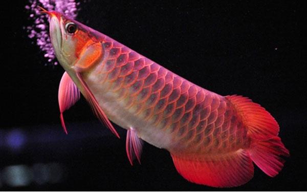Loài cá đỏ như máu, mang ý nghĩa quyền quý và thịnh vượng được đại gia Việt săn mua-1