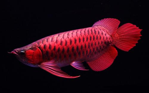 Loài cá đỏ như máu, mang ý nghĩa quyền quý và thịnh vượng được đại gia Việt săn mua-2