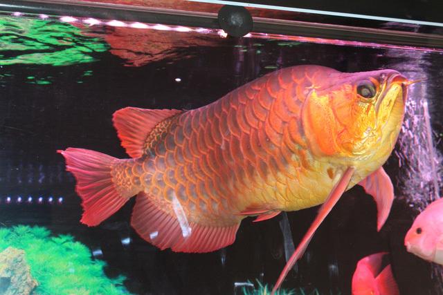 Loài cá đỏ như máu, mang ý nghĩa quyền quý và thịnh vượng được đại gia Việt săn mua-13