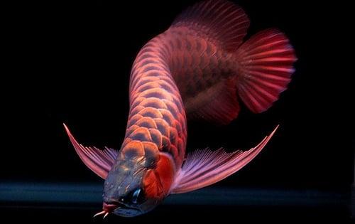 Loài cá đỏ như máu, mang ý nghĩa quyền quý và thịnh vượng được đại gia Việt săn mua-14