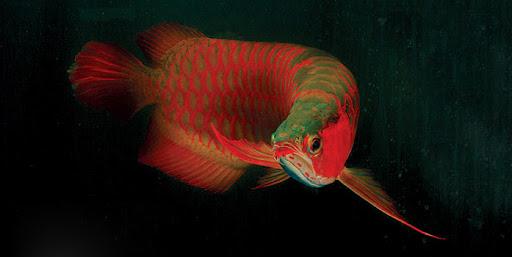 Loài cá đỏ như máu, mang ý nghĩa quyền quý và thịnh vượng được đại gia Việt săn mua-15