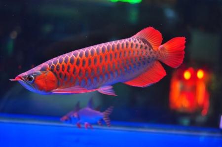 Loài cá đỏ như máu, mang ý nghĩa quyền quý và thịnh vượng được đại gia Việt săn mua-16