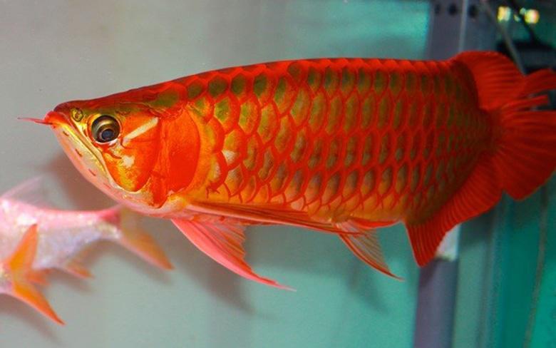 Loài cá đỏ như máu, mang ý nghĩa quyền quý và thịnh vượng được đại gia Việt săn mua-3