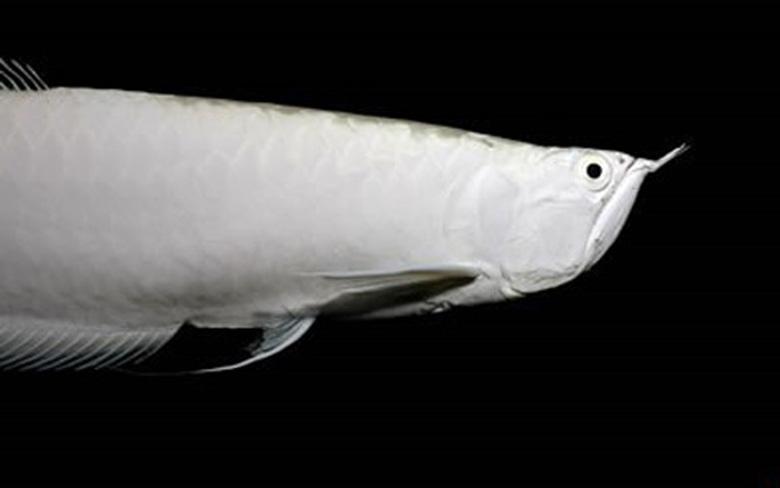 Loài cá đỏ như máu, mang ý nghĩa quyền quý và thịnh vượng được đại gia Việt săn mua-4