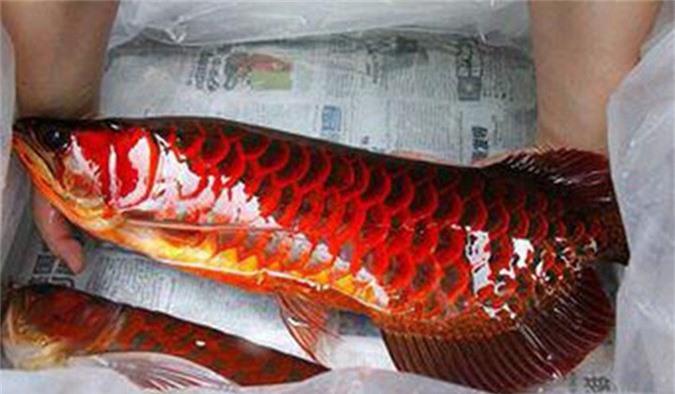 Loài cá đỏ như máu, mang ý nghĩa quyền quý và thịnh vượng được đại gia Việt săn mua-7