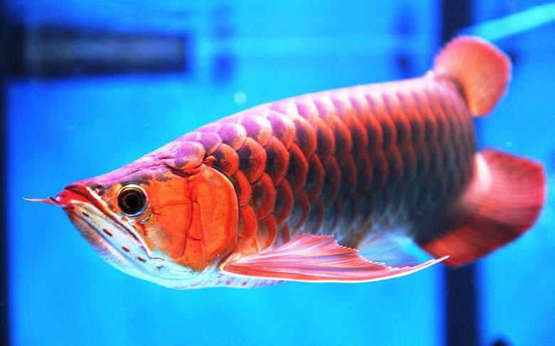 Loài cá đỏ như máu, mang ý nghĩa quyền quý và thịnh vượng được đại gia Việt săn mua-8
