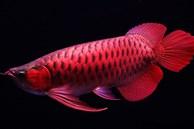 Loài cá đỏ như máu, mang ý nghĩa quyền quý và thịnh vượng được đại gia Việt săn mua