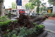 Hà Nội: Cây si bất ngờ bật gốc, đổ chắn ngang đường Lý Thái Tổ