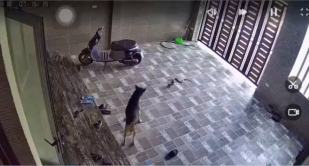 Kinh hãi con rắn lớn trườn nhanh vào nhà dân ở Nghệ An, tấn công chú chó-2