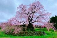 Cây anh đào 300 tuổi ở Nhật Bản