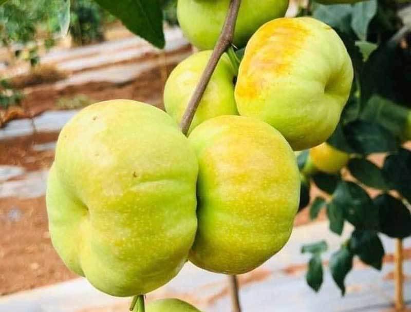 Loại táo Trung Quốc siêu lạ, giá đắt đỏ vẫn 'cháy hàng'-1