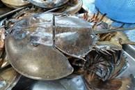 Sam biển 'bò' về Hà Nội giá đã 1 triệu đồng/đôi nhưng máu của nó còn có giá cao khủng khiếp gấp trăm lần