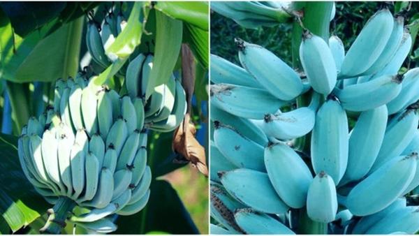 Giống chuối xanh biếc kì lạ tưởng chỉ là photoshop nào ngờ có thật 100%, lại còn được trồng ở rất gần Việt Nam-1