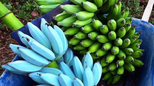 Giống chuối xanh biếc kì lạ tưởng chỉ là photoshop nào ngờ có thật 100%, lại còn được trồng ở rất gần Việt Nam-3