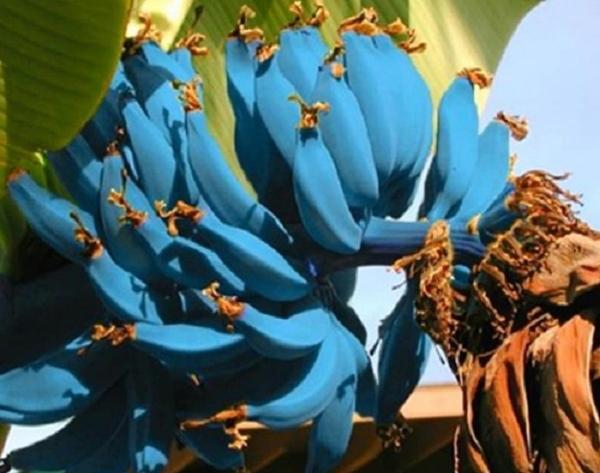 Giống chuối xanh biếc kì lạ tưởng chỉ là photoshop nào ngờ có thật 100%, lại còn được trồng ở rất gần Việt Nam-5