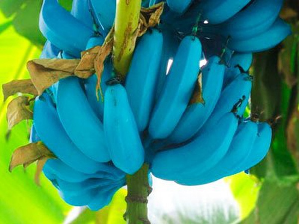 Giống chuối xanh biếc kì lạ tưởng chỉ là photoshop nào ngờ có thật 100%, lại còn được trồng ở rất gần Việt Nam-6