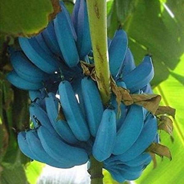 Giống chuối xanh biếc kì lạ tưởng chỉ là photoshop nào ngờ có thật 100%, lại còn được trồng ở rất gần Việt Nam-7