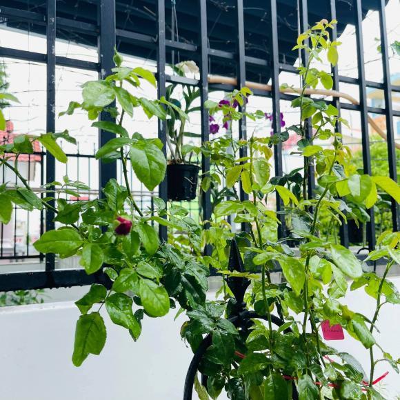 Ban công xanh mướt, ngập đầy hoa trong căn nhà mặt phố của vợ chồng diễn viên Hồ Bích Trâm-4