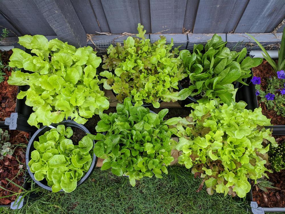 Khoảng sân nhỏ biến thành khu vườn đủ loại rau sạch tốt tươi nhờ tình yêu trồng trọt của mẹ trẻ-4
