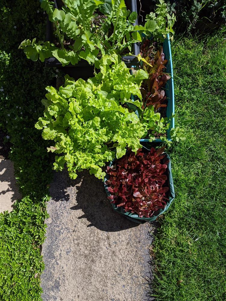 Khoảng sân nhỏ biến thành khu vườn đủ loại rau sạch tốt tươi nhờ tình yêu trồng trọt của mẹ trẻ-11