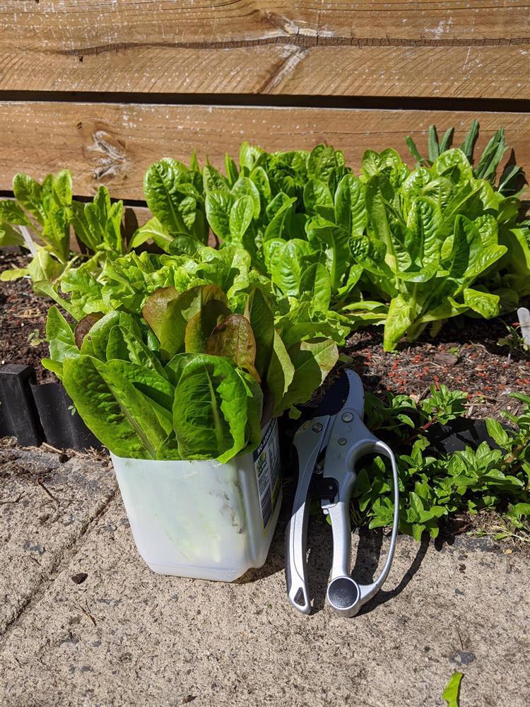 Khoảng sân nhỏ biến thành khu vườn đủ loại rau sạch tốt tươi nhờ tình yêu trồng trọt của mẹ trẻ-14