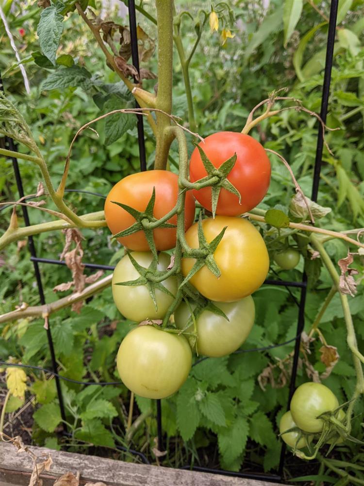 Khoảng sân nhỏ biến thành khu vườn đủ loại rau sạch tốt tươi nhờ tình yêu trồng trọt của mẹ trẻ-15