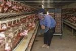 Giải mã hiện tượng trứng gà tăng giá kỷ lục, thương lái tranh nhau mua giữa tâm dịch-4