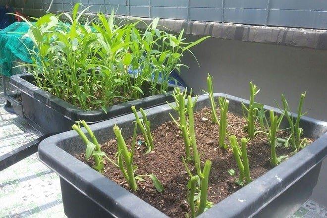 Chỉ mẹ cách giâm rau muống bằng cành, sau 2 tuần là có rau non mơn mởn thu hoạch-1