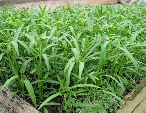 Chỉ mẹ cách giâm rau muống bằng cành, sau 2 tuần là có rau non mơn mởn thu hoạch-7