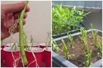 Chỉ mẹ cách giâm rau muống bằng cành, sau 2 tuần là có rau non mơn mởn thu hoạch