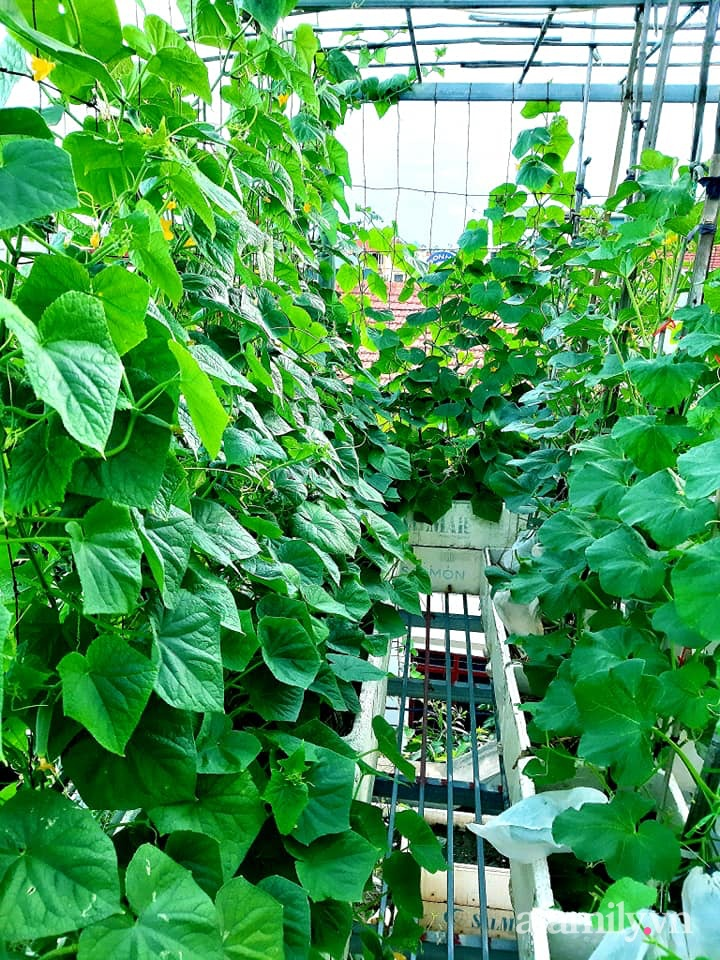 Cả năm không phải đi chợ mua rau quả nhờ làm vườn trên nóc nhà của mẹ đảm Hà Nội-5