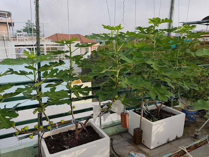 Quả sung khổng lồ trồng trên sân thượng, ăn chán bán thu tiền triệu-2