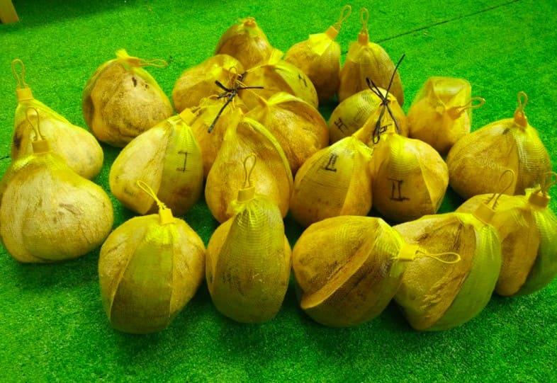 Loại dừa giá lên tới 300.000 đồng/quả có gì đặc biệt?-6