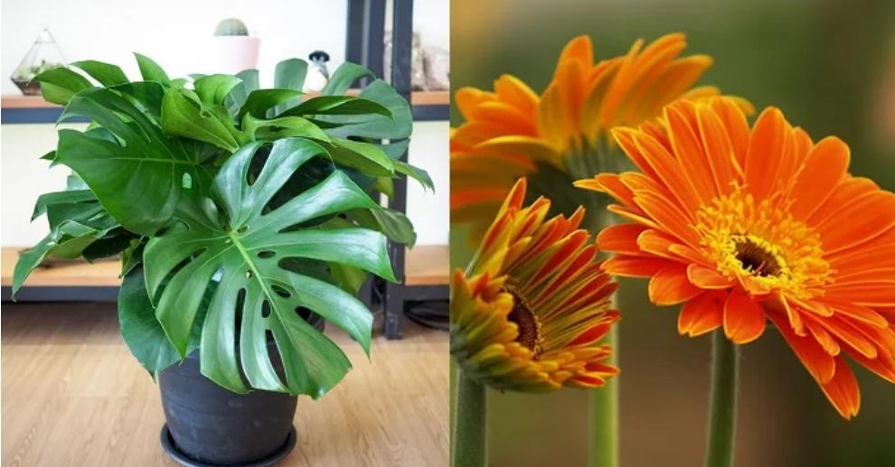 6 loại cây phong thủy trồng trong nhà hút sạch chất độc hại, nâng cao sức khỏe-2