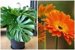6 loại cây phong thủy trồng trong nhà 'hút sạch' chất độc hại, nâng cao sức khỏe
