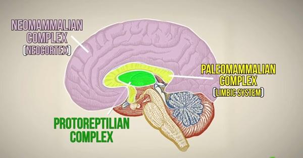 3 cấp độ não người là giả thuyết sai lầm-2