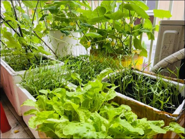 Vườn rau mướt mắttrong biệt thự củaThân Thúy Hà gì cũng có, ngày dịch sẵn thực phẩm xanh tại gia ai cũng thèm-2