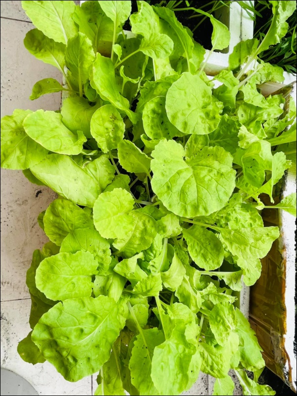 Vườn rau mướt mắttrong biệt thự củaThân Thúy Hà gì cũng có, ngày dịch sẵn thực phẩm xanh tại gia ai cũng thèm-4
