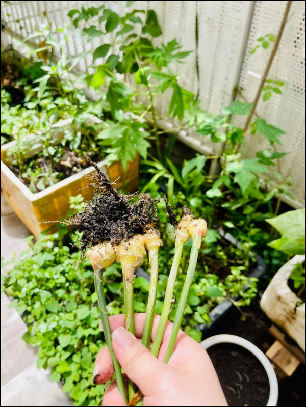 Vườn rau mướt mắttrong biệt thự củaThân Thúy Hà gì cũng có, ngày dịch sẵn thực phẩm xanh tại gia ai cũng thèm-6