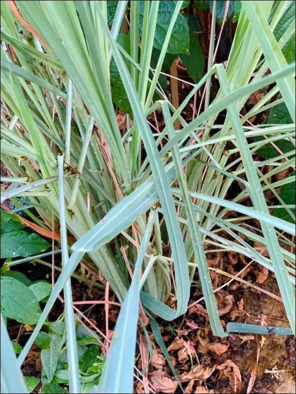 Vườn rau mướt mắttrong biệt thự củaThân Thúy Hà gì cũng có, ngày dịch sẵn thực phẩm xanh tại gia ai cũng thèm-7