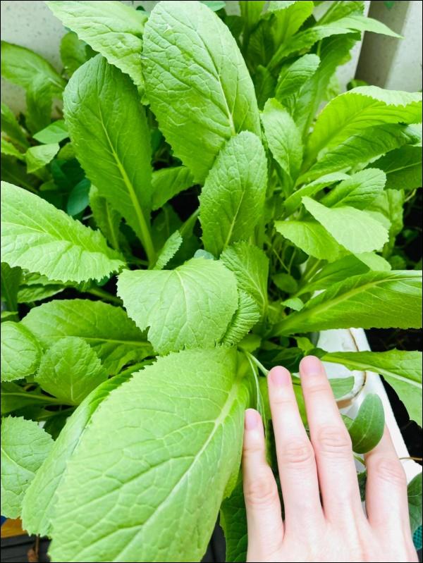 Vườn rau mướt mắttrong biệt thự củaThân Thúy Hà gì cũng có, ngày dịch sẵn thực phẩm xanh tại gia ai cũng thèm-13