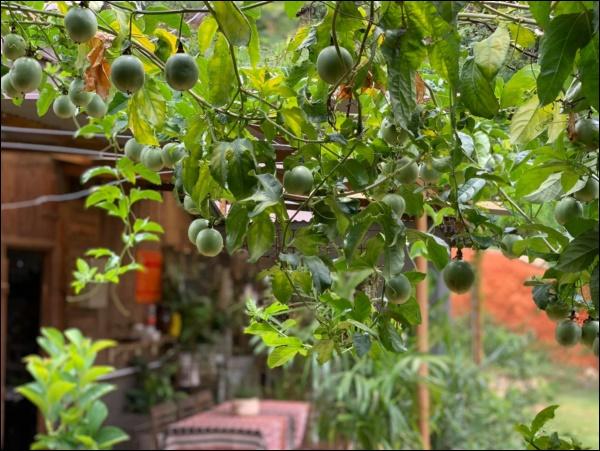 Vườn rau mướt mắttrong biệt thự củaThân Thúy Hà gì cũng có, ngày dịch sẵn thực phẩm xanh tại gia ai cũng thèm-11