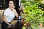 Vườn rau mướt mắttrong biệt thự củaThân Thúy Hà 'gì cũng có', ngày dịch sẵn thực phẩm xanh tại gia ai cũng thèm