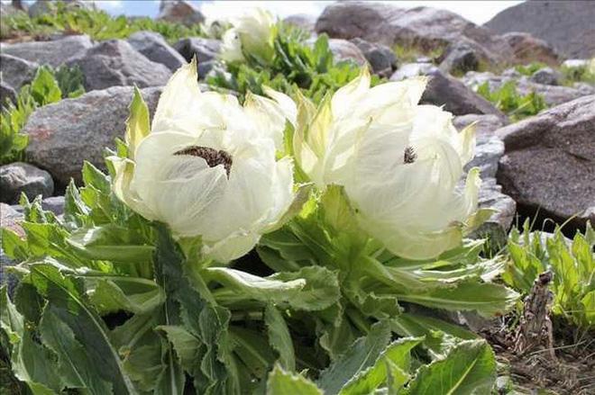 Loài hoa truyền thuyết được ví như tiên dược, nhà giàu Việt bỏ chục triệu săn lùng-2