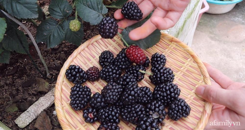 Sở hữu sân thượng đủ loại rau và trái cây sạch, mẹ trẻ yên tâm cùng gia đình đi qua mùa dịch ở Thái Bình-12