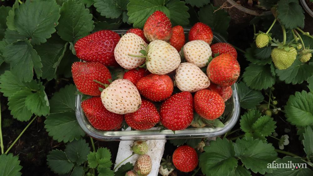 Sở hữu sân thượng đủ loại rau và trái cây sạch, mẹ trẻ yên tâm cùng gia đình đi qua mùa dịch ở Thái Bình-8