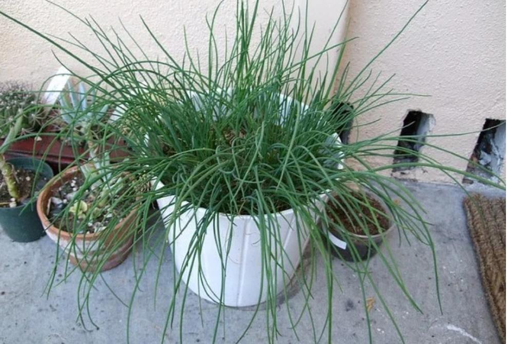 Mua rau gia vị về đừng vứt rễ đi, trồng theo cách này siêu đơn giản, ăn thoải mái, hết lại tự lên-3